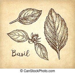 Basil ink sketch - Basil leaves set. Ink sketch on old paper...