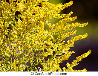 Close up of the Goldenrod plant