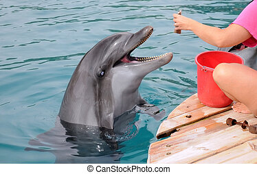 Feeding Dolphins - A dolphin is waiting for the trainer to...