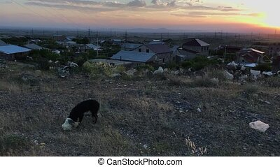 dog eats from a plastic bag at sunset