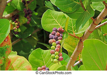 Close up View of Ripening Sea Grape Cluster - Close up view...