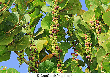 Ripening Sea Grape Clusters in Antigua Barbuda Lesser...