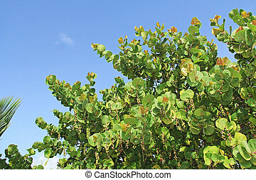 Top of a Sea Grape Tree with Copy Space - The top of a sea...