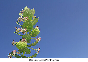 Blooms and Seed Pods on a Giant Milkweed - Star Shaped...