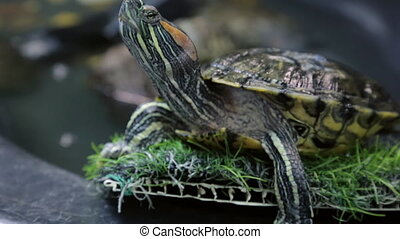 Red-eared slider in closeup