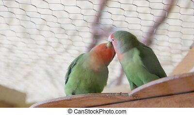 Lovebird parrots kissing