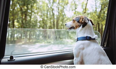 Jack Russell Terrier looks out the open window of the car ....