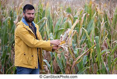 milho, mostrando, cob, doença, agricultor