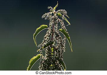 urtiga, planta, stinging