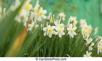 Narcissus in closeup