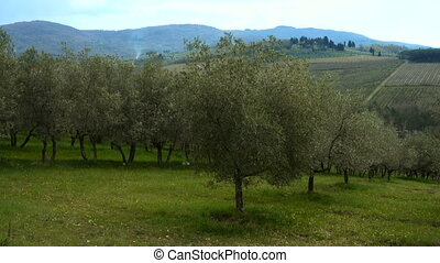 rows of olive trees on a tuscanian hills