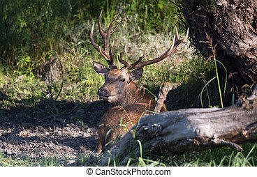 Red deer lying in forest - Red deer lying on ground in...