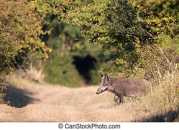 Wild boar in forest - Wild boar walking in forest. Wildlife...
