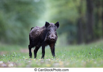 Wild boar in forest - Wild boar walking in forest and...