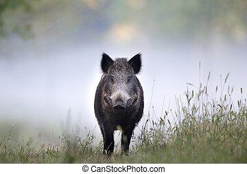 Wild boar in fog - Wild boar walking on meadow on foggy...