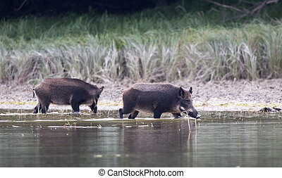 Wild boars in water - Two wild boars standing in shallow...