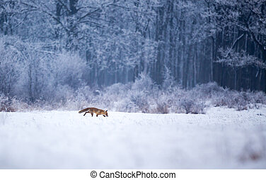 Red fox walking in forest on snow - Red fox walking on snow...