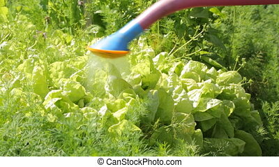 Watering salad in the garden
