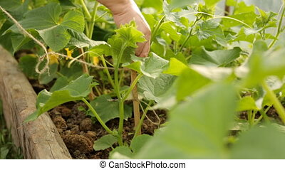 Farmer tying up cucumber bushes