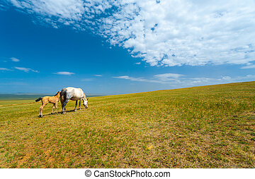 Wild Horses Grazing Grass Mongolia Steppe - Two wild horses...