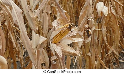 Corn cob ready for harvest - Closeup of corn cob in late...