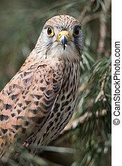 Female kestrel - A close upright vertical portrait of a...
