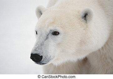 Portrait of a polar bear - Close up a portrait of a polar...