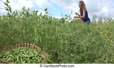 Villager woman girl pick ripe peas pods to wicker basket....
