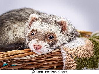Ferret sitting in a basket