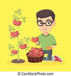 Little caucasian farmer boy harvesting tomatoes. - Little...