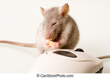 Rodent is gnawing a piece of cheese near the computer mouse