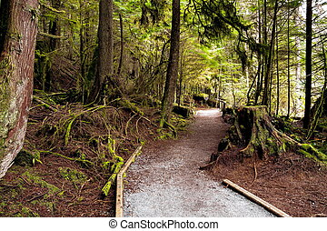 Rain Forest in Capilano River Park. - The wet forest, trunks...