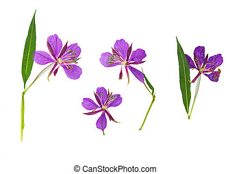 Pressed and dried delicate purple flowers willow-herb,...