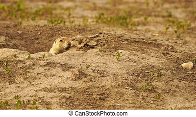 Prairie Dogs Stand Sentry Underground Home Entrance -...