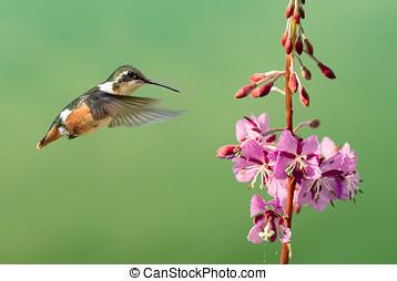 Tiny hummingbird hover in mid-air - Hummingbird hover in...
