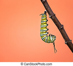 Monarch caterpillar hanging just before pupating - A Monarch...