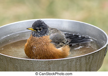 Robin rests in bird bath. - A cute Robin is wading in a...