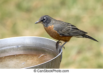 Robin on side of bird bath. - An American robin is perched...