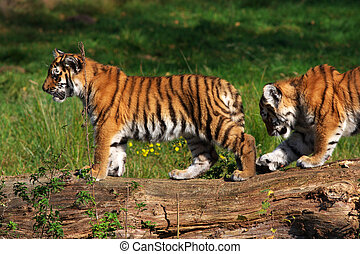 Siberian tiger cubs following each other on a fallen tree