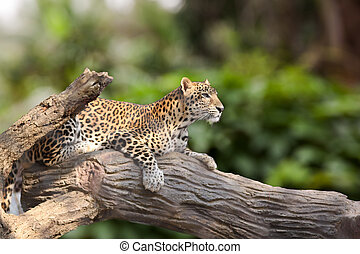 Leopard lie down on timber under the sun shines. Animal...