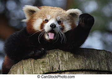 Waving Red Panda - Portrait of a waving Red Panda sitting...