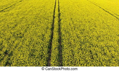 Aerial drone video clip descending over field of oil seed...