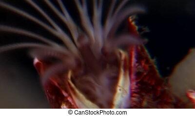 Balanus balanomorpha sea acorn marine crustaceans underwater...