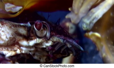 Crab hios macro close up underwater in search of food on...