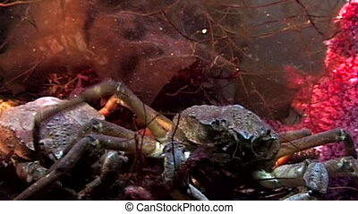 Crab hios underwater in search of food on seabed of White...