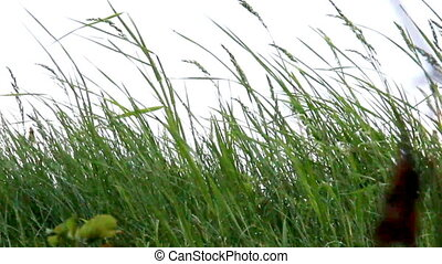 grass at the wind - close-up grass at the morning meadow