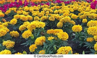 yellow the flowers chrysanthemum background nature - yellow...