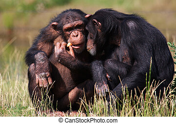 chimpanzees eating a carrot - Two chimpanzees sitting close...