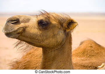 Closeup Hairy Face Bactrian Camel - Closeup on the hairy...
