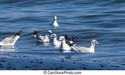 gull at the sea - many gulls swimming and diving at the sea